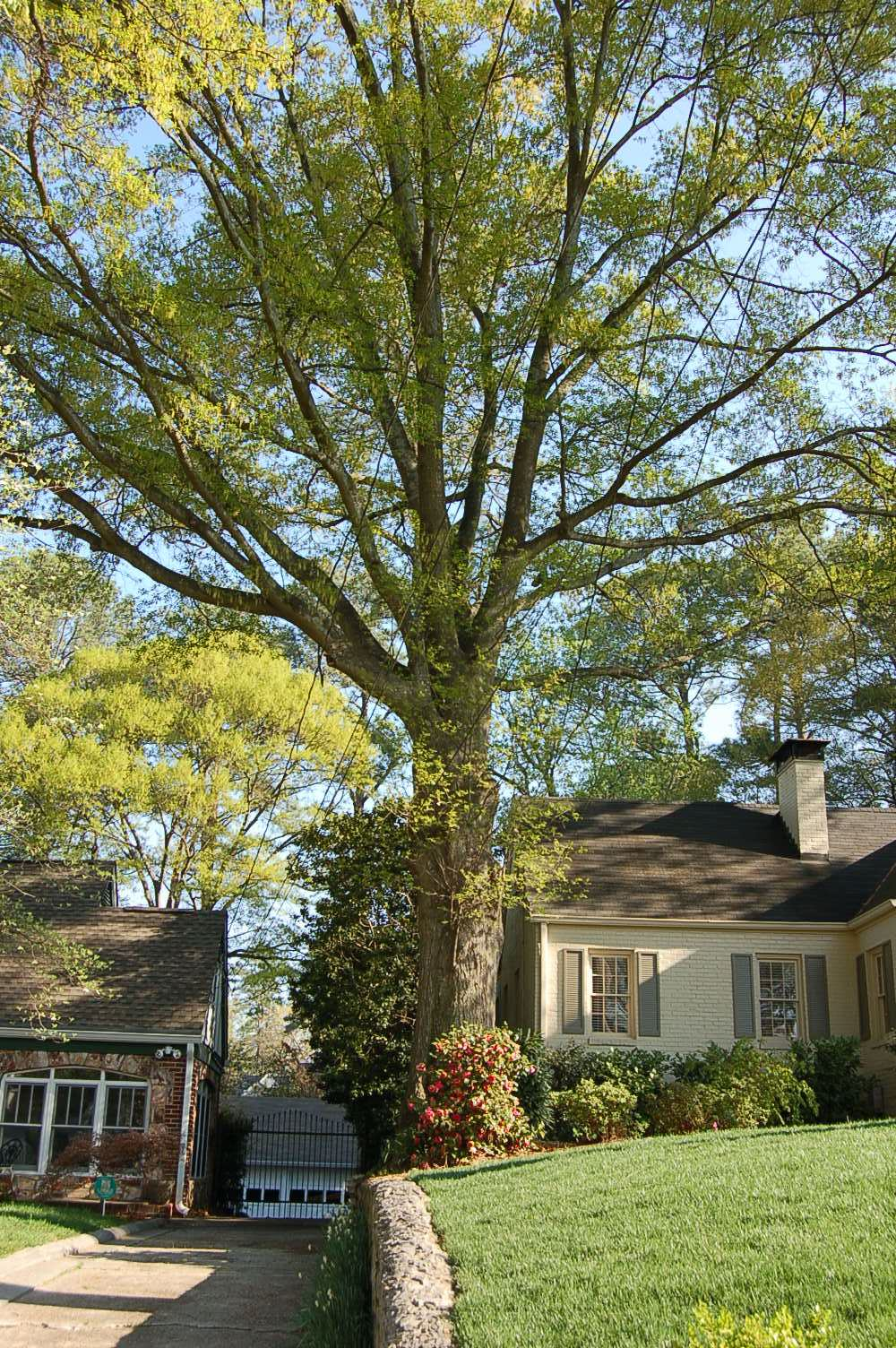 copy of oak tree at 414 east wesley